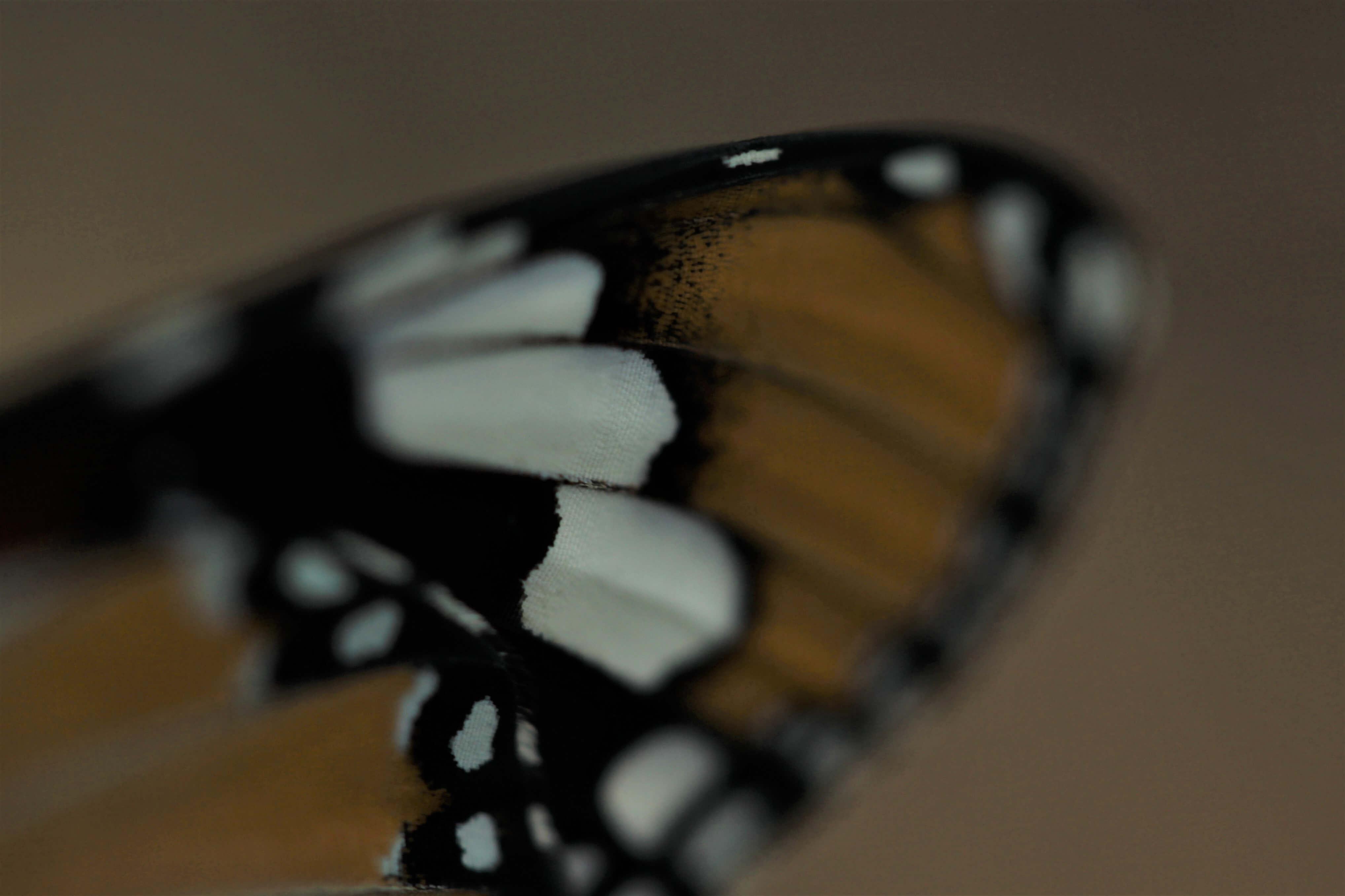 Danaus chrysippus wing. Photo credit: Johandre van Rooyen