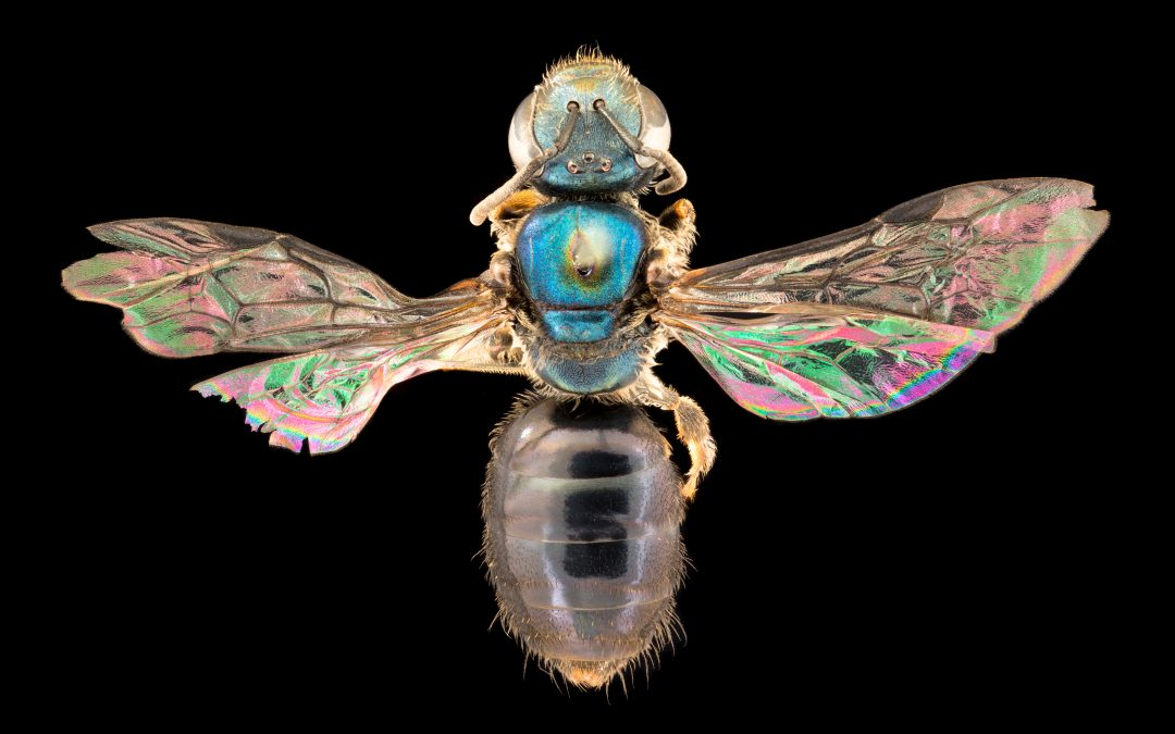 Discovering Fiji's native bees: hidden secrets in a biodiversity hotspot