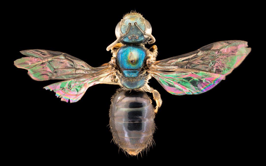 Discovering Fiji's native bees: hidden secrets in a biodiversity hotspot