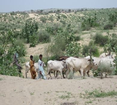 University of Sindh Jamshoro Barcodes Grasshoppers in Pakistan's Thar Desert