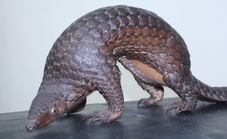 Saving the Pangolin: Philippines' Fight Against the Illegal Wildlife Trade