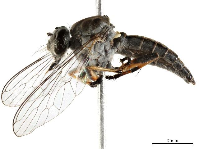 Dolichopodidae - BOLD:ADV1139