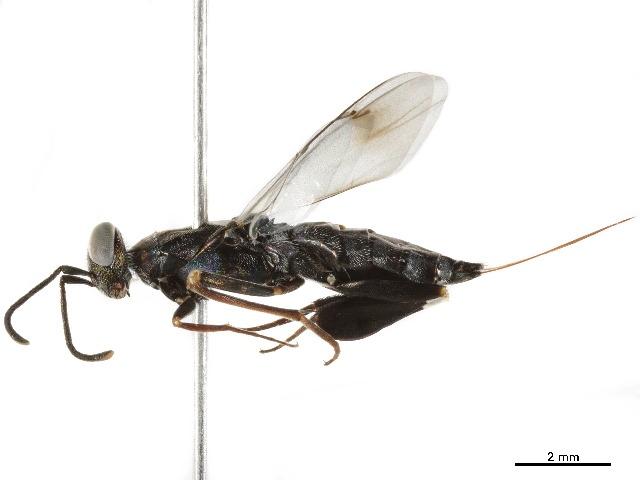 Eupelmidae - BOLD:ADV5173
