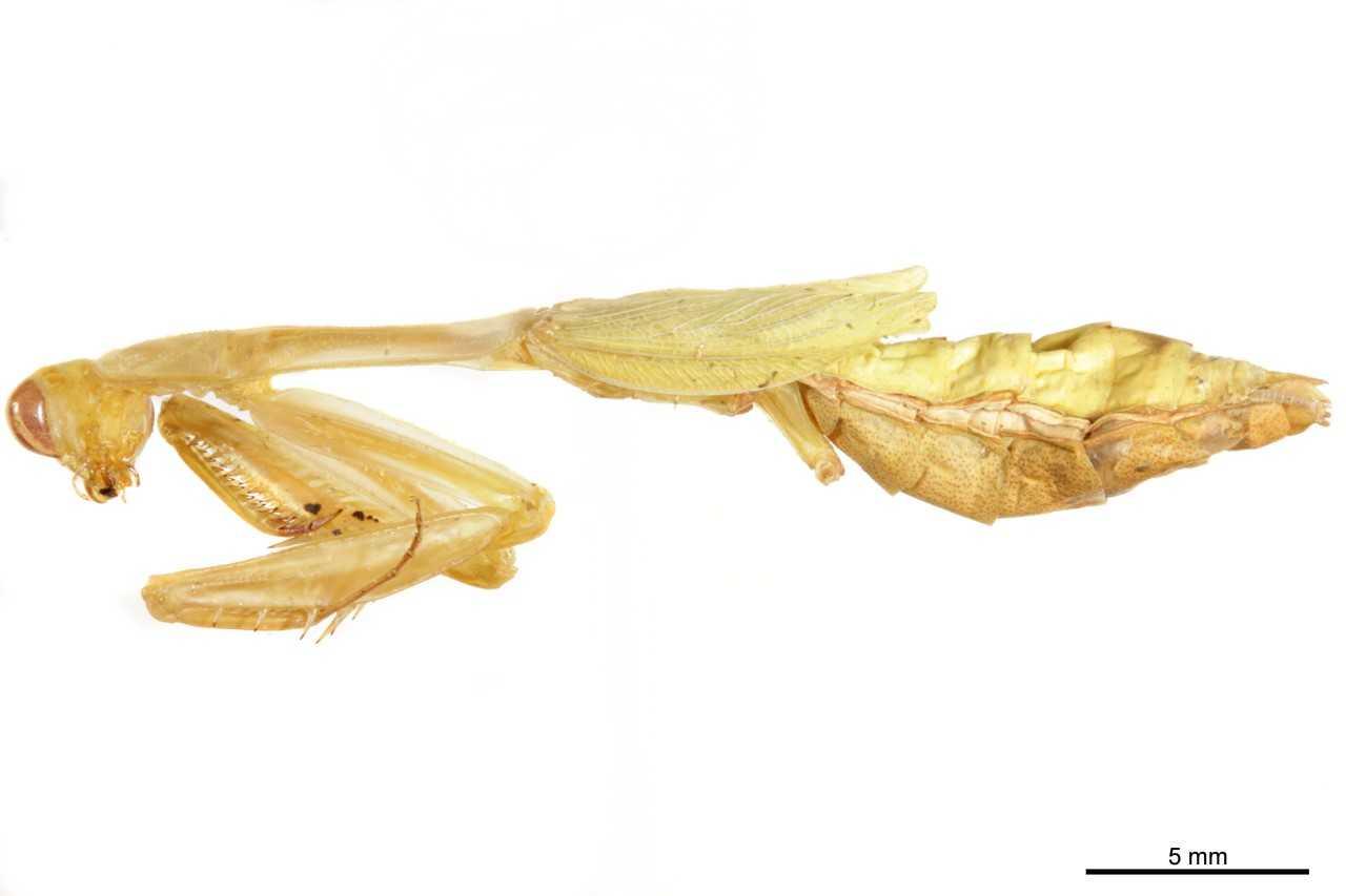 Mantidae - BOLD:AAX3953