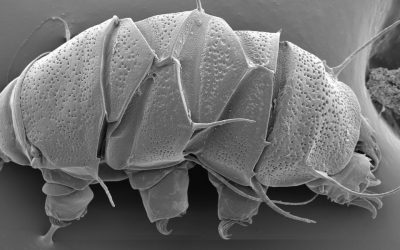 The celebrities of the microcosmos aren't always easy to find: detecting tardigrades in environmental DNA