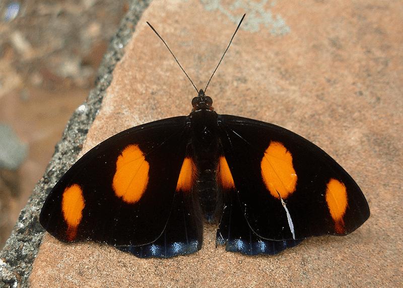 Catonephele numilia neogermanica