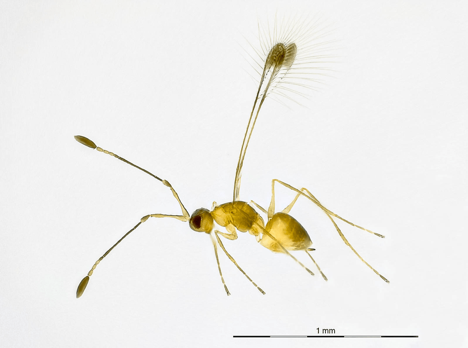 Yellow Mymaridae specimen